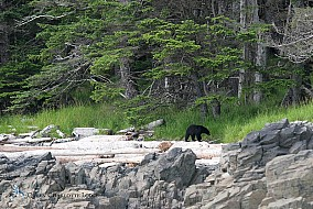 Haida Gwaii Black Bear