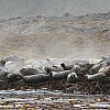 Seals on Mazzaredos