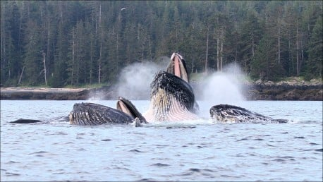 Amazing Humpback whales at QCL