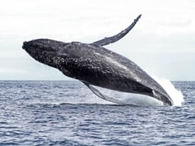 Humpback whale breaching the water