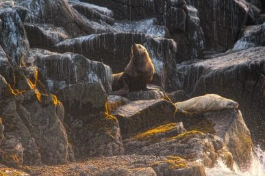 Sea Lion at Bird Rock
