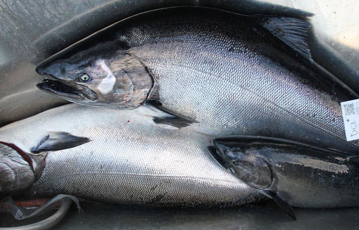 Canada Fishing Trip chinook salmon catch