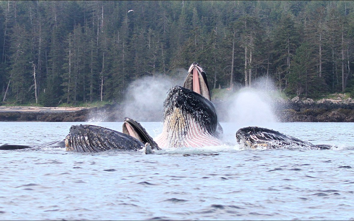 Wilderness lodge whales feeding in Naden Harbour