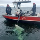 QCL halibut record 474