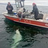 QCL Halibut Record