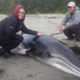 Minke whale calf