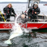 Halibut fishing is an adventure ar QCL